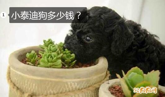 小泰迪狗多少钱?