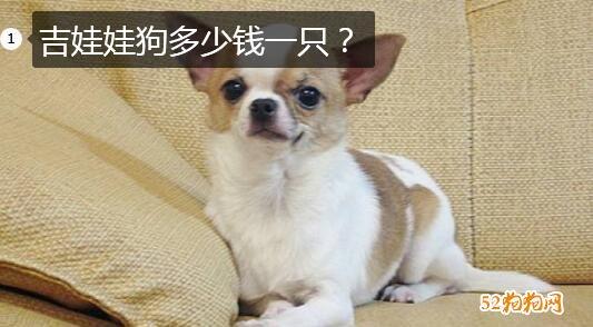 吉娃娃狗价格、吉娃娃狗多少钱一只?