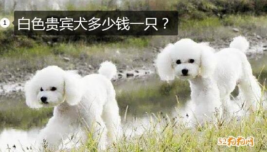 白色贵宾犬多少钱一只?