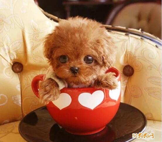 茶杯贵宾犬价格图片
