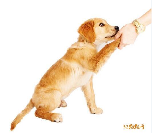 小金毛犬怎么训练?