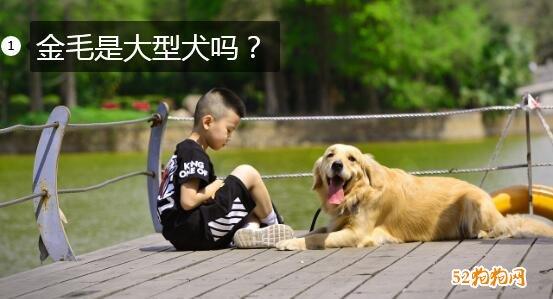 金毛是大型犬吗?