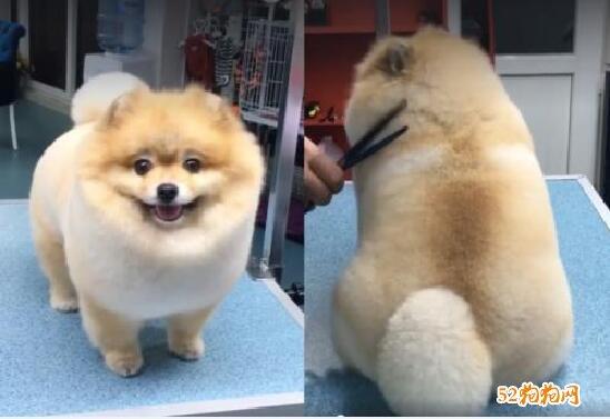 博美犬造型图