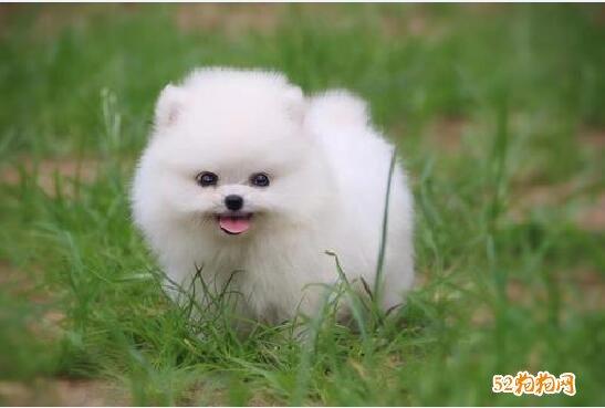 上海博美犬多少钱一只?