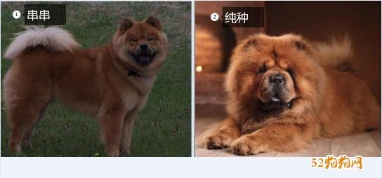 松狮纯种和不纯种照片
