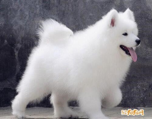 萨摩多少钱?了解一下不同级别萨摩耶犬价格差异!