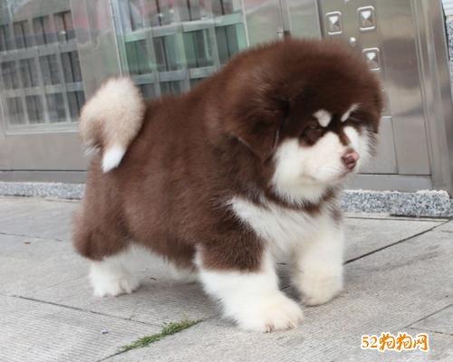 阿拉斯加雪橇犬多少钱?