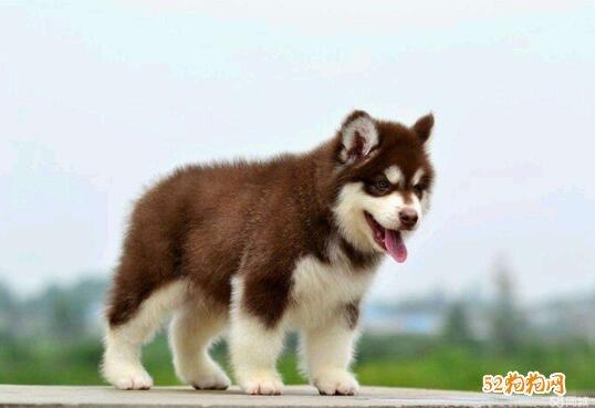 小阿拉斯加犬图片