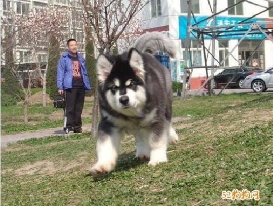 小阿拉斯加犬图片4