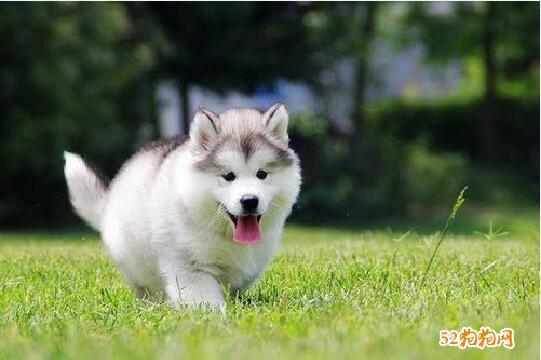 小阿拉斯加犬图片5
