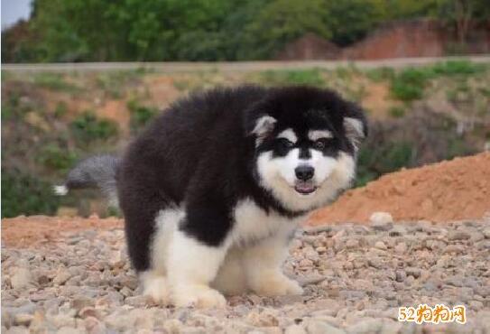小阿拉斯加犬图片8