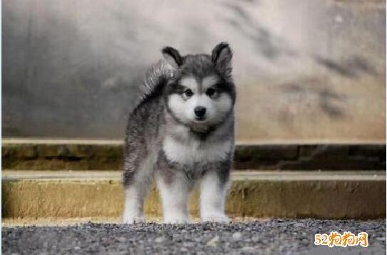 小阿拉斯加犬图片10
