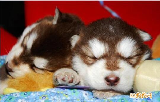 小阿拉斯加犬图片12