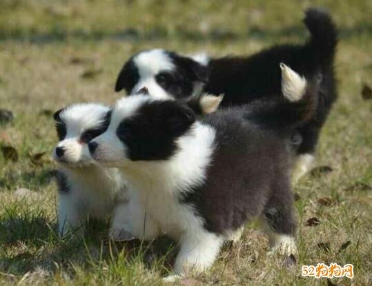 小牧羊犬多少钱?