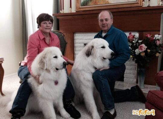 大白熊犬饲养成本