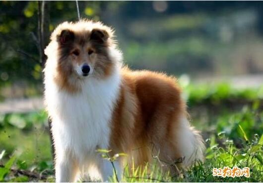 苏格兰牧羊犬幼犬价格?