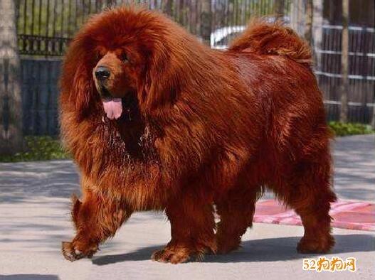 藏獒出售500元、红毛藏獒500元一只的图片什么样子?