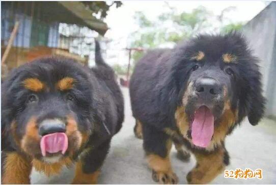 藏獒出售500元图片8
