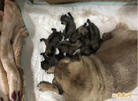 刚出生的巴哥犬图片2