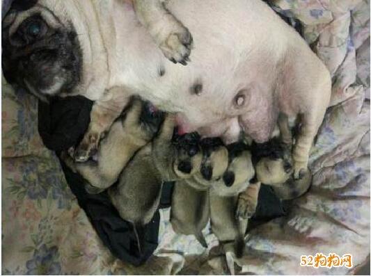 刚出生的巴哥犬图片4