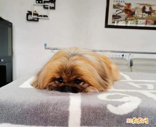 纯种北京犬图片及价格1