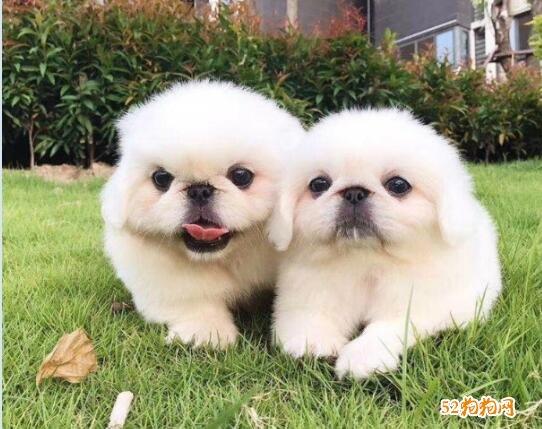 纯种北京犬图片及价格3