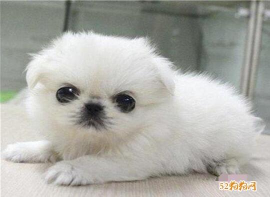 纯种北京犬图片及价格8