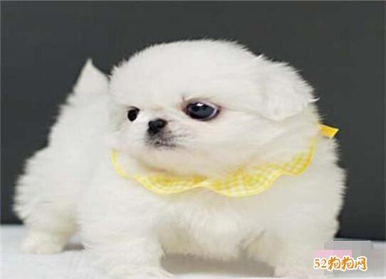 纯种北京犬图片及价格9