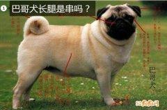 巴哥犬长腿是串吗?