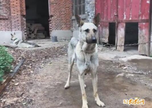狼青犬视频
