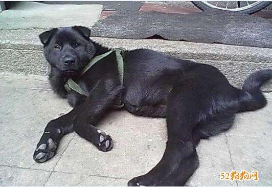 黑色中华田园犬图片3
