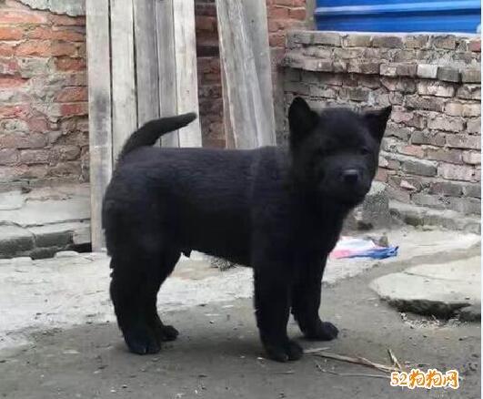 黑色中华田园犬图片4
