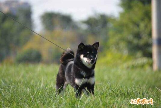 黑色中华田园犬图片5