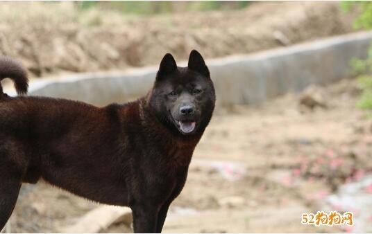 黑色中华田园犬图片6