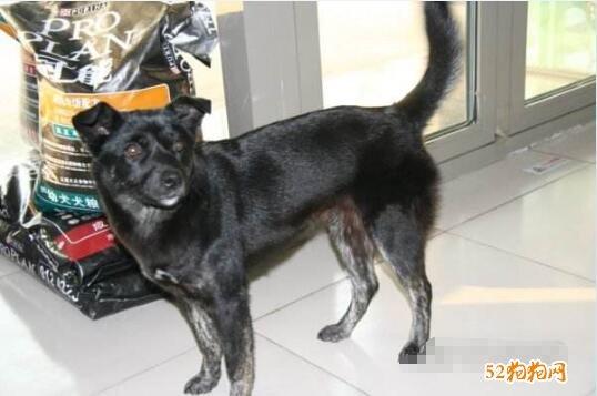 黑色中华田园犬图片7