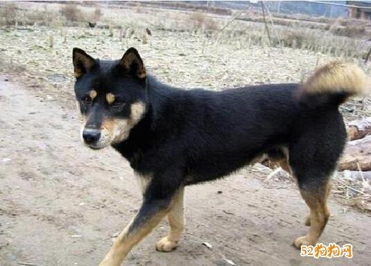 黑色中华田园犬图片9