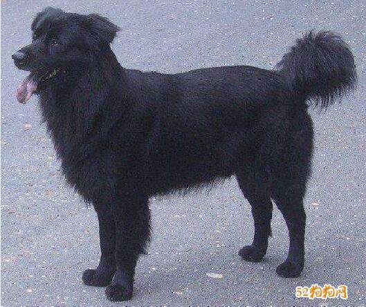 黑色中华田园犬图片11