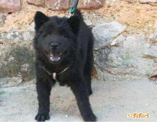 黑色中华田园犬图片12