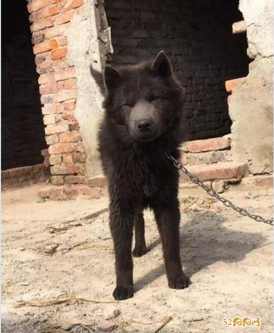 黑色中华田园犬图片13