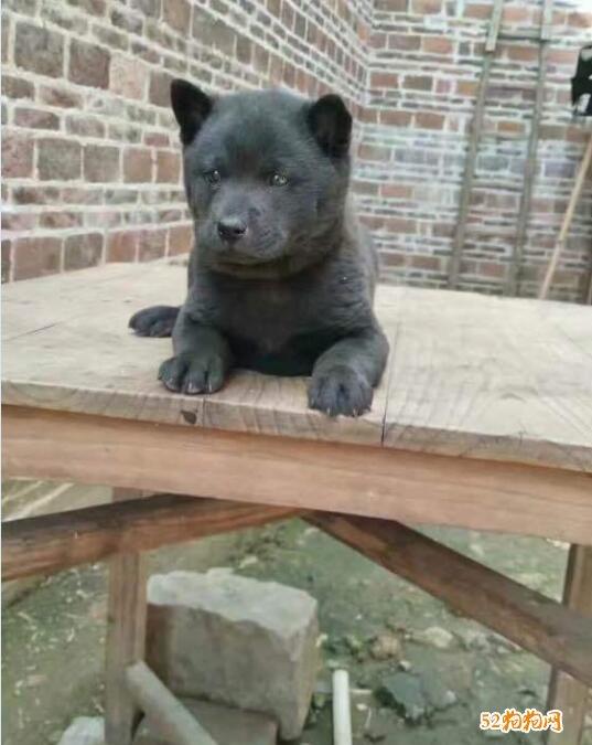 黑色中华田园犬图片14