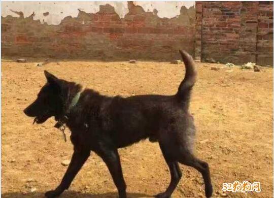黑色中华田园犬图片15