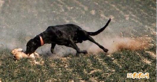 格力犬什么体型最快图2