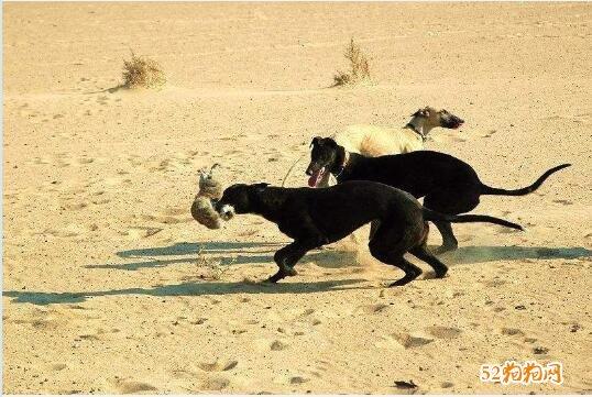 格力犬什么体型最快图3