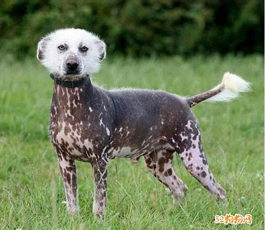 最丑的狗图片11