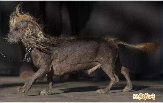 最丑的狗图片13