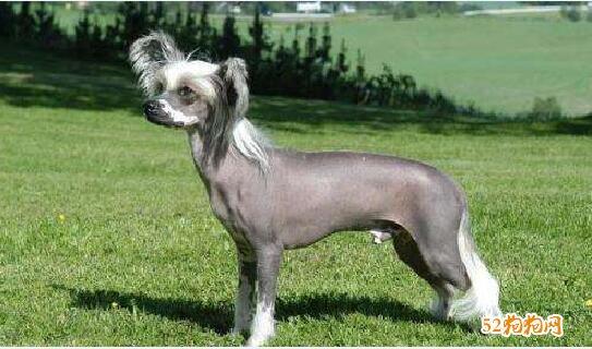 最丑的狗图片15