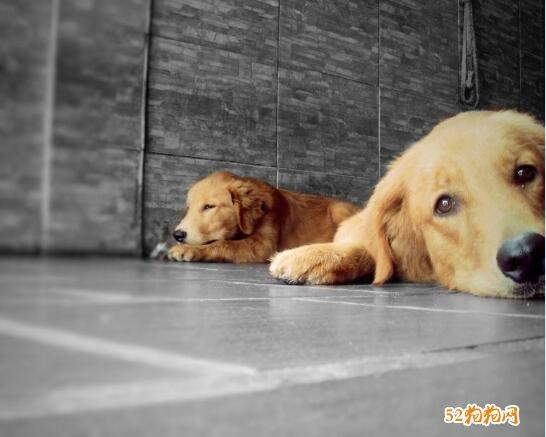 金毛狗图片大全可爱图9