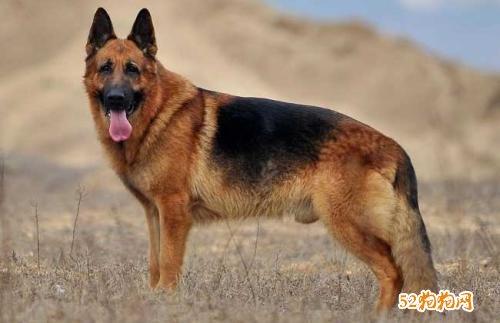 狗的种类及图片大全7