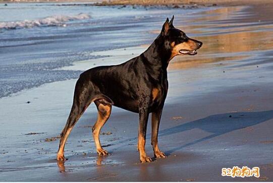 狗的种类及图片大全11