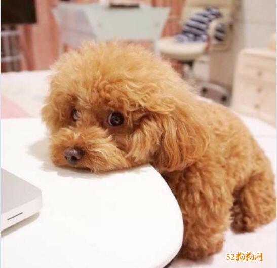 泰迪狗的图片大全1